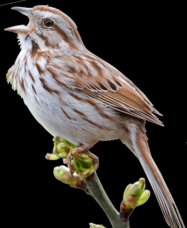 Nest clipart sparrow nest. Swamp png transparent pencil
