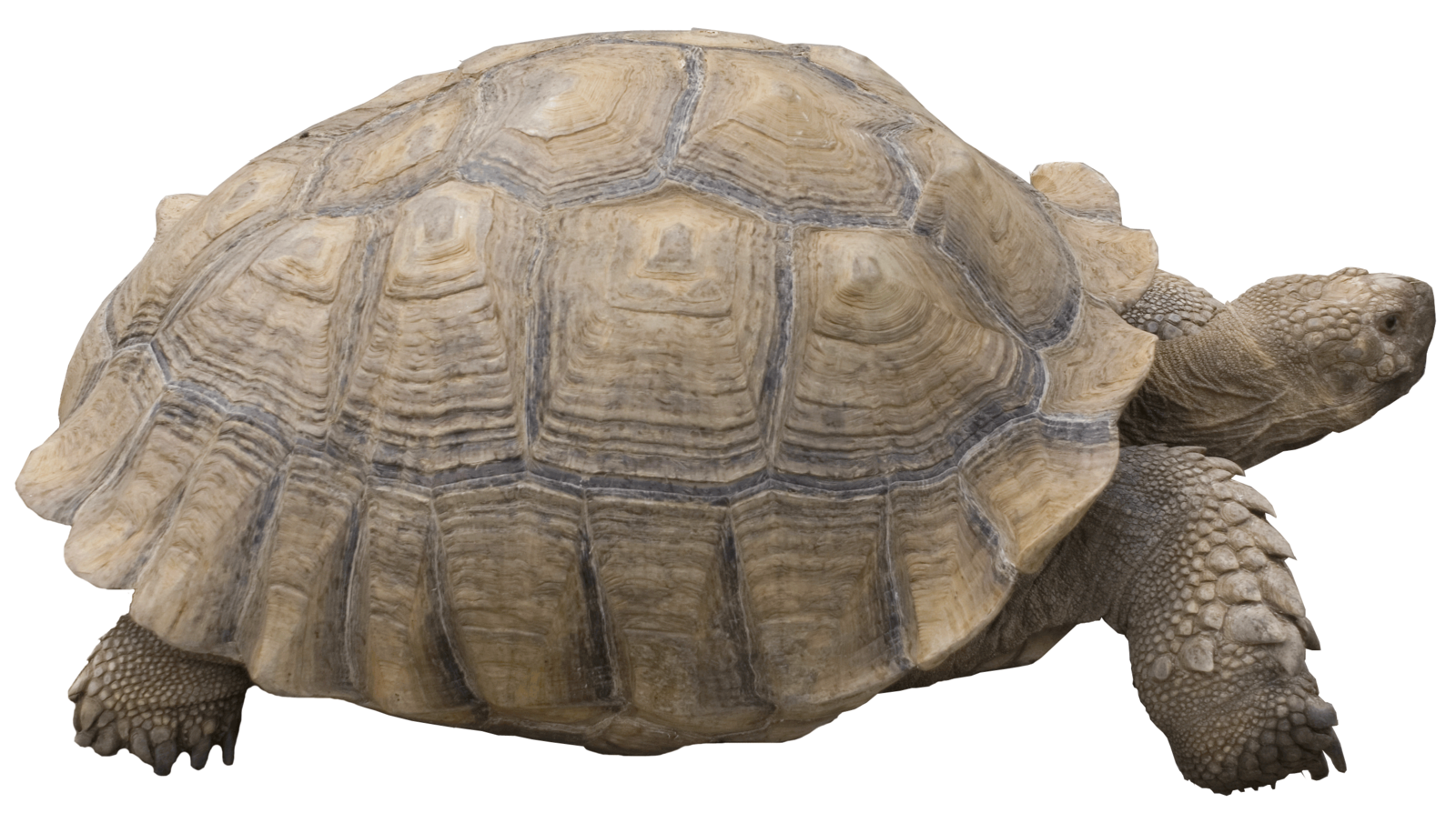 Desert clipart tortoise. Png by evelivesey deviantart