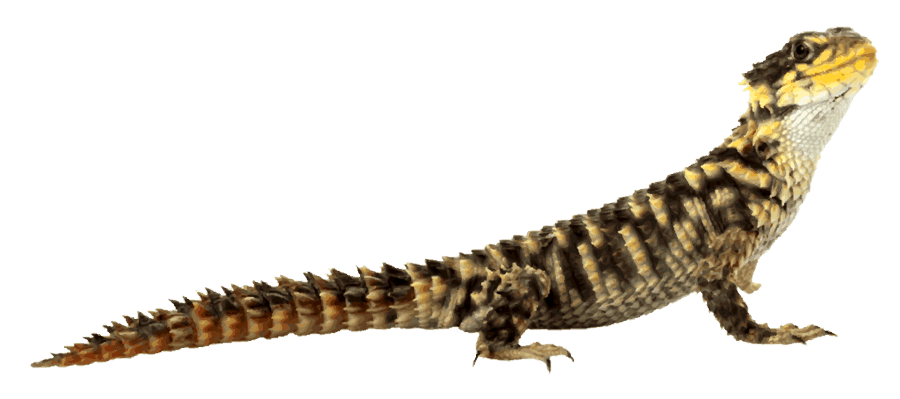 Desert png transparent images. Lizard clipart exotic animal