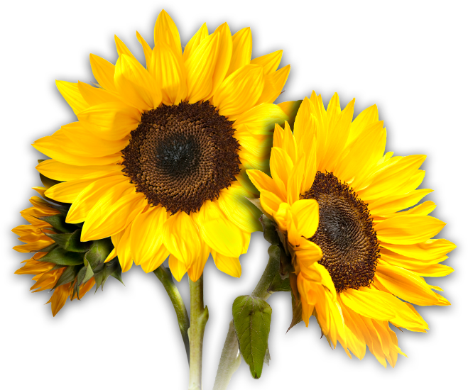 Field clipart sunflowers. Sunflower interesting design ideas