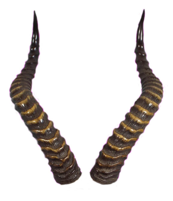horns by tigers. Horn clipart real devil
