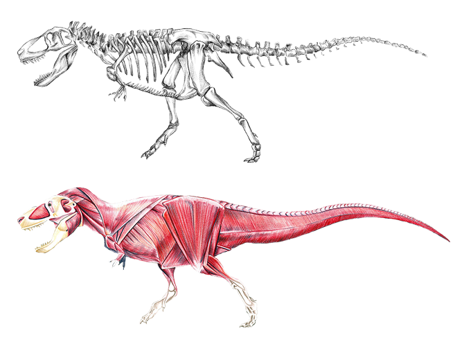 Muscle dino png reference. Dinosaur clipart spinosaurus