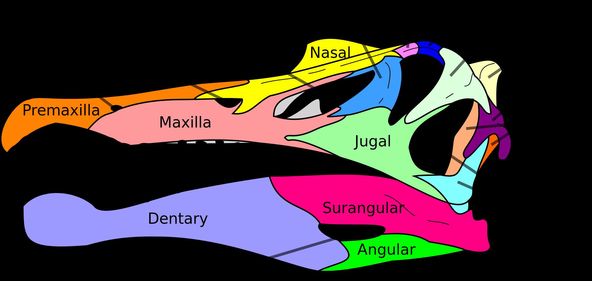 px spinosaurus skull. Geology clipart paleontologist tool