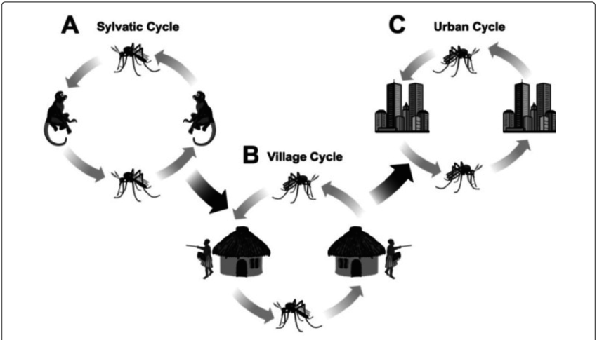 Epidemiologic cycles of virus. Disease clipart chikungunya