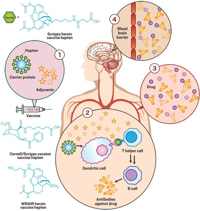 Medication clipart vaccination. Vaccines against addictive drugs