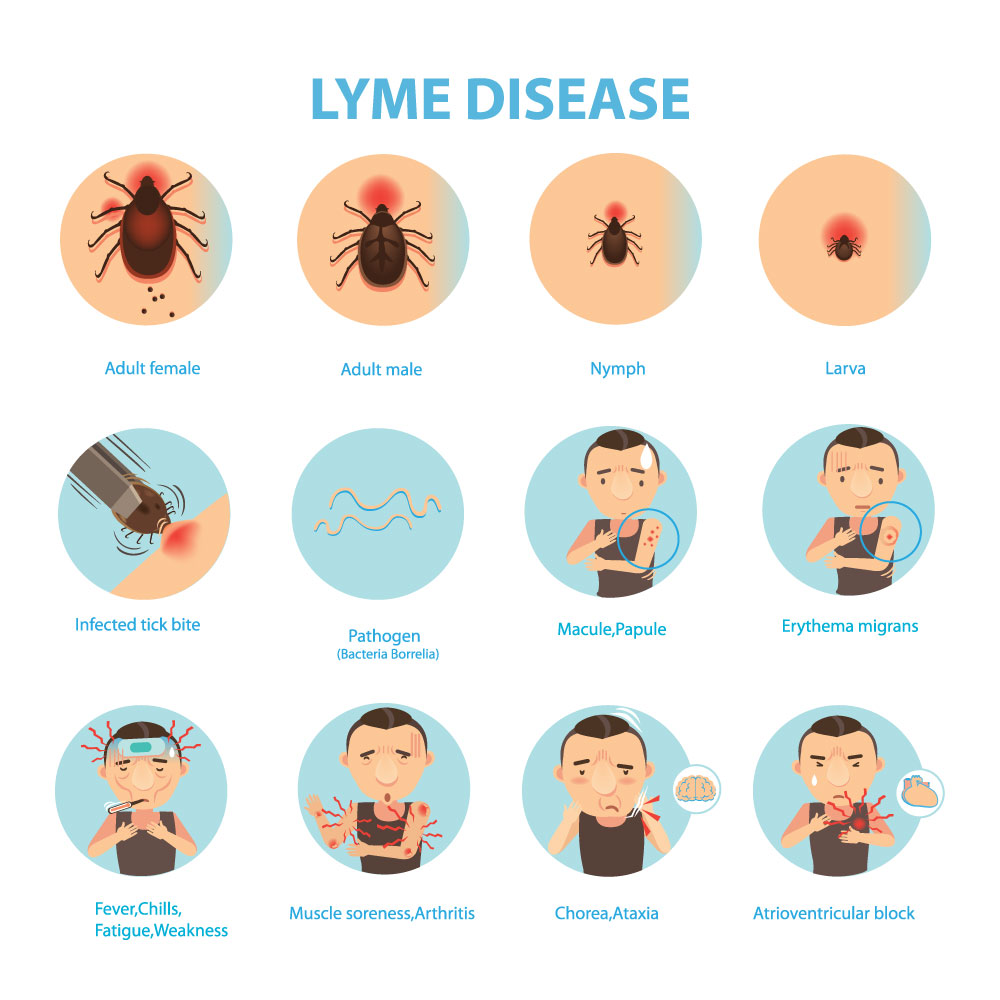 Disease clipart lyme disease. A new treatment in