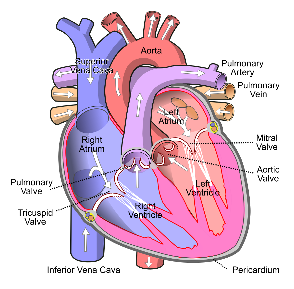 Athletic heart syndrome wikipedia. Disease clipart palpitation