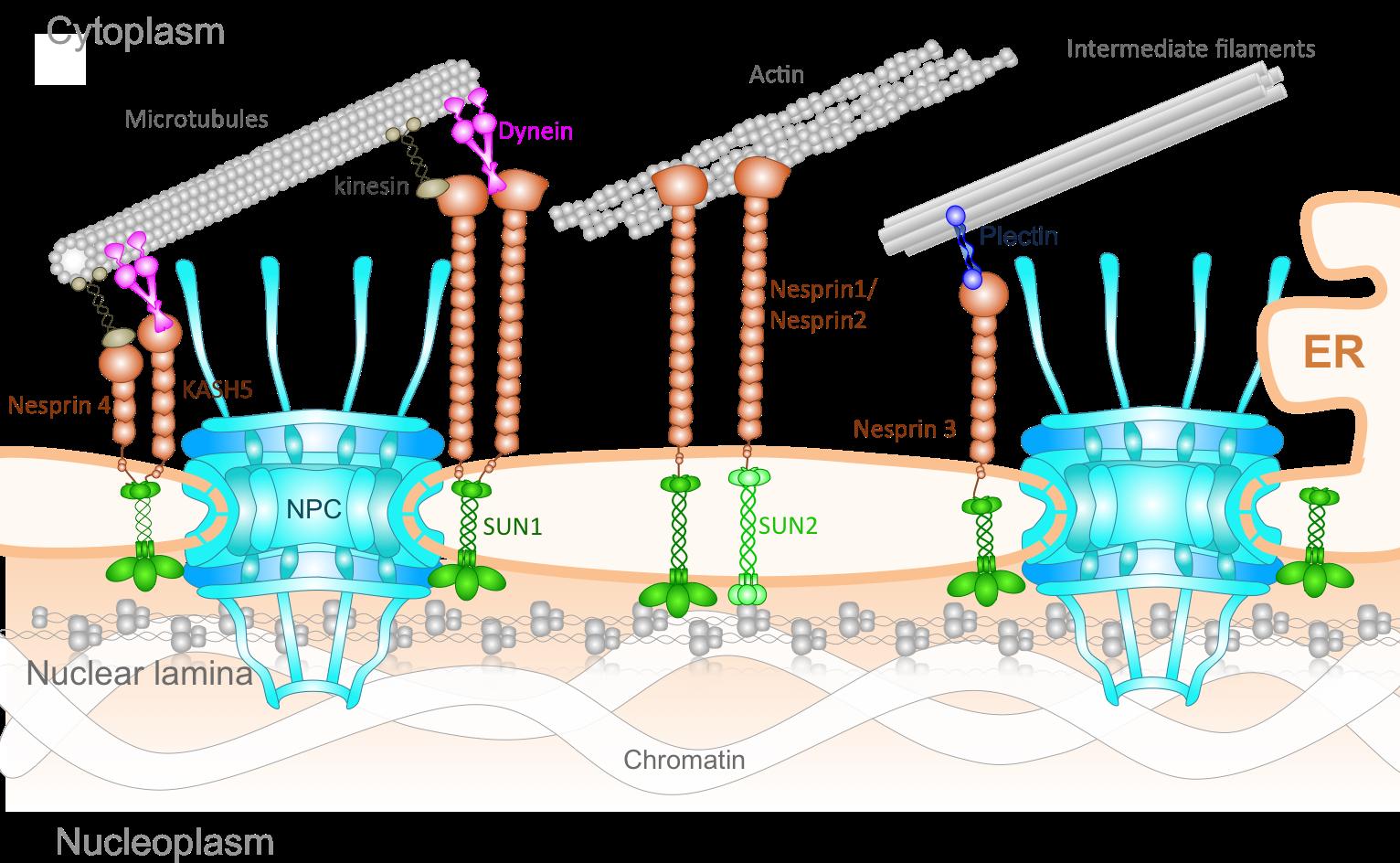 Mechanic clipart mechanical force. Research molecular cell biomechanics