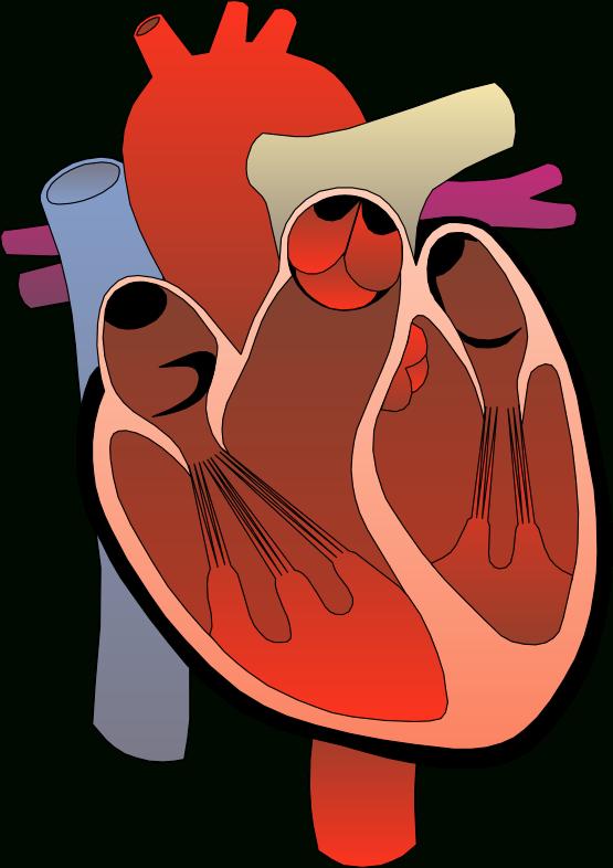 Hearts clipart medical. Cardiac group human heart