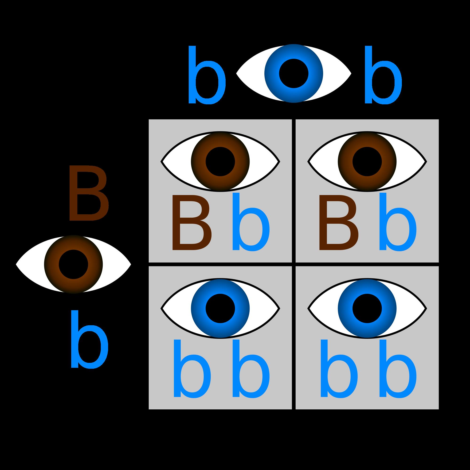 Population genetics biology visionlearning. Dna clipart genotype