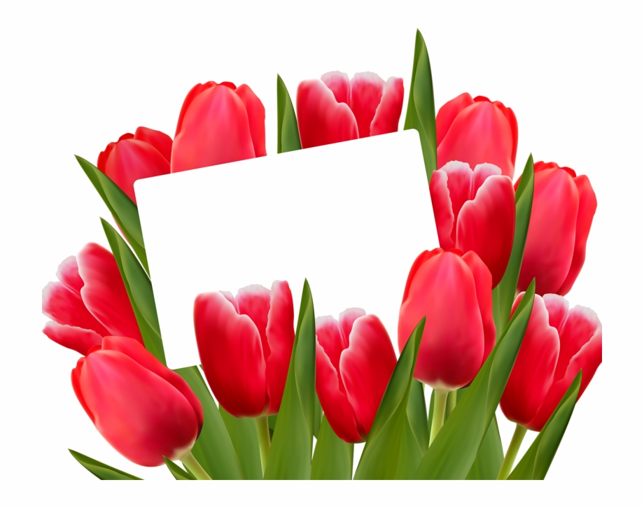 Red tulips spring clip. Divider clipart tulip