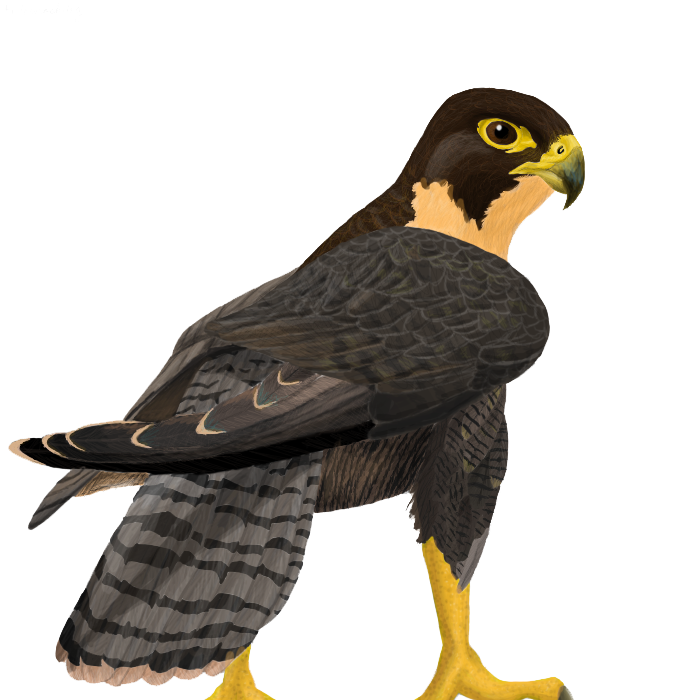 Falcon clipart falcon bird.  collection of peregrine