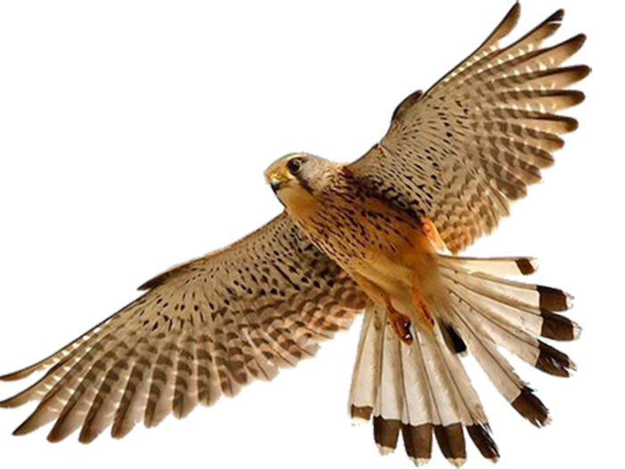 Png . Falcon clipart flying falcon