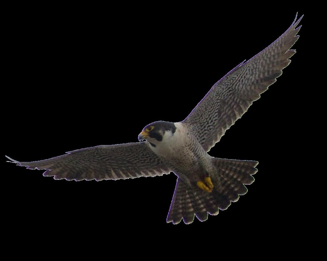 falcon clipart flying falcon