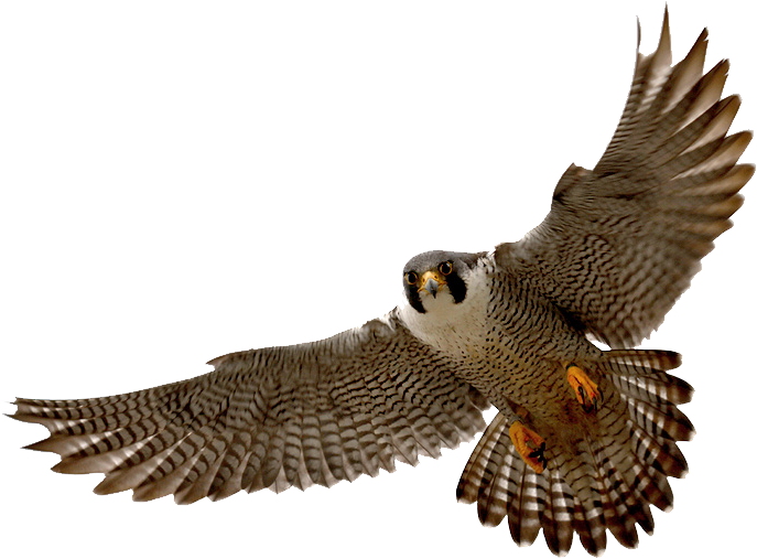 Falcon png . Hawk clipart skyview