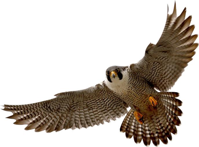 falcon clipart tribal