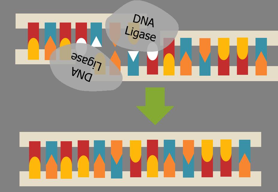 Structural biochemistry repair wikibooks. Dna clipart biochem