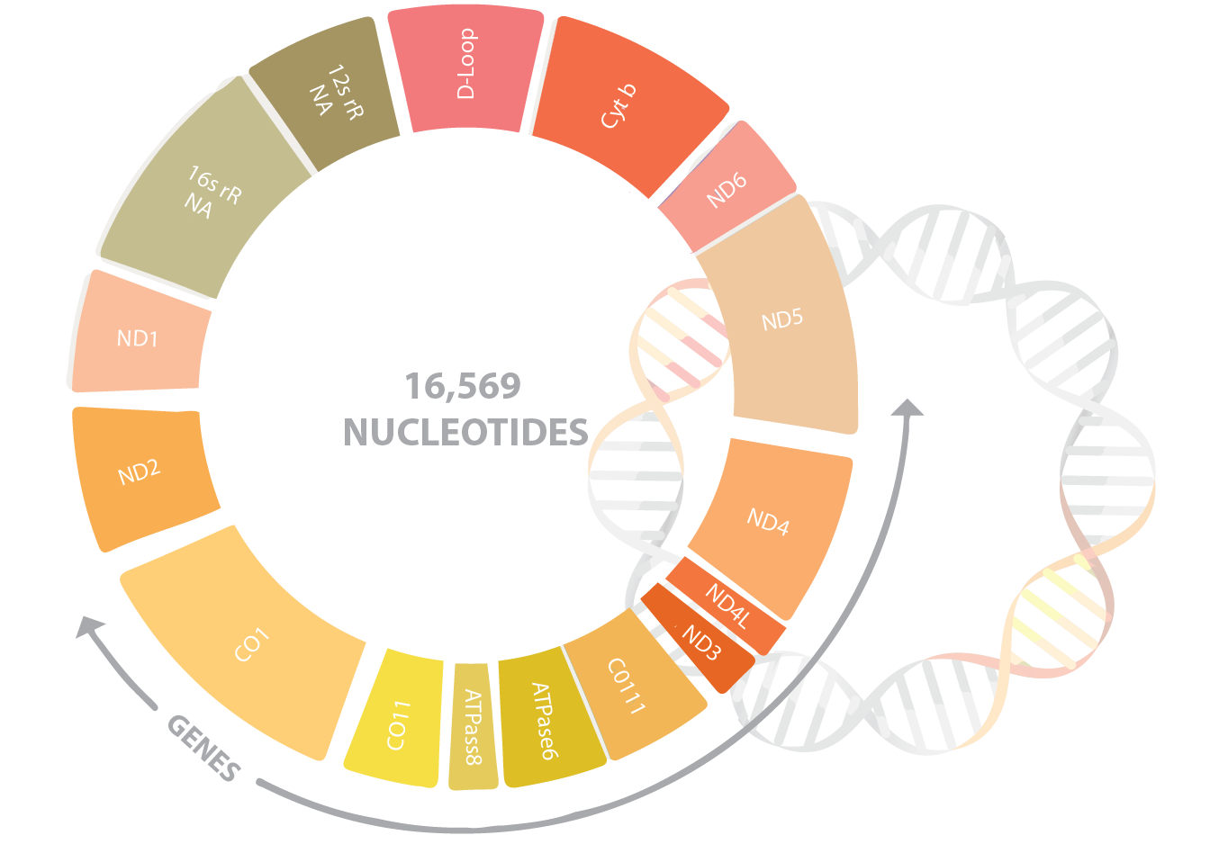 Dna clipart dna test. Mitochondrial sequencing