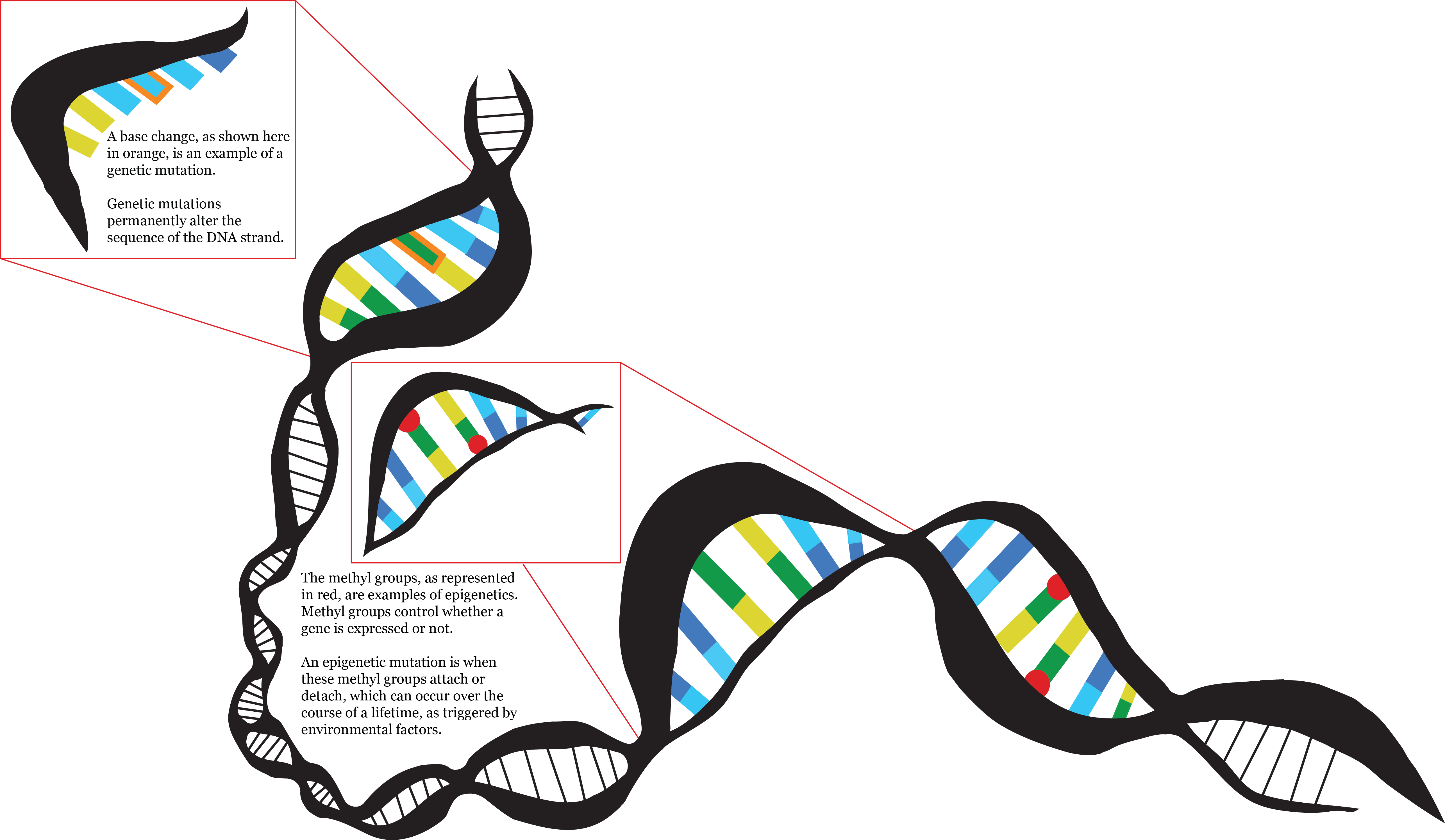 Dna clipart epigenetics. Infographics taylor malottki this