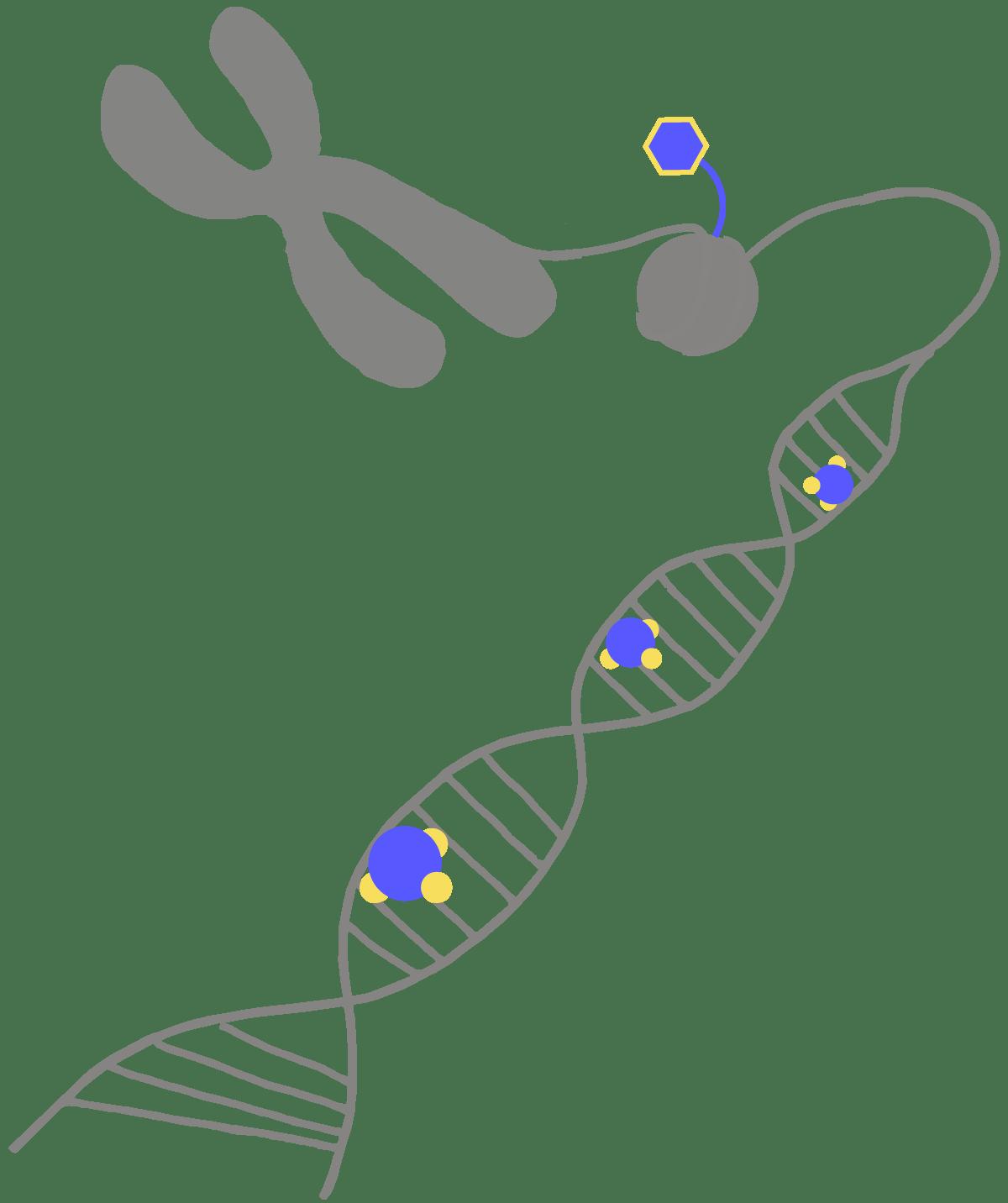 Dna clipart epigenetics. Glossary innovative genomics institute