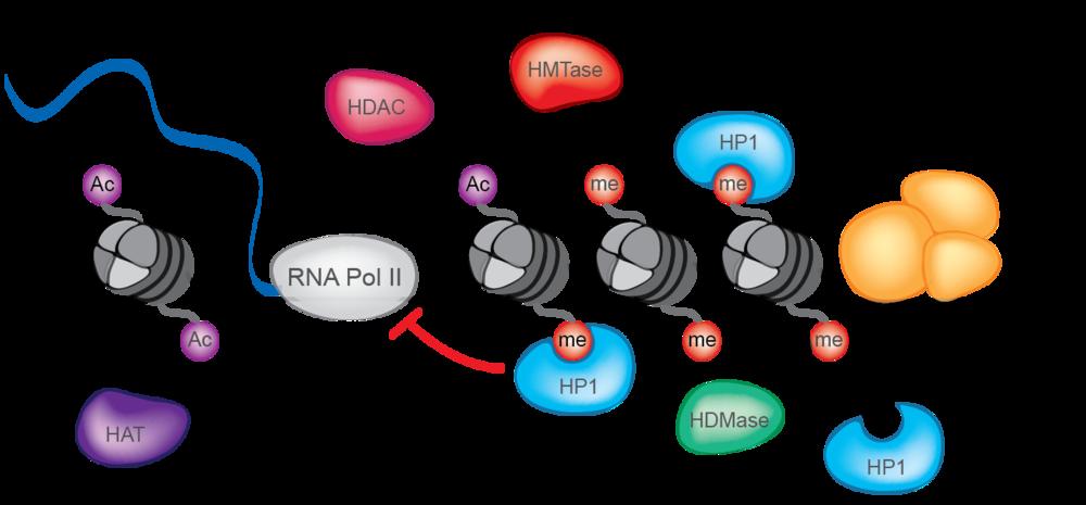 Dna clipart epigenetics. Research ragunathan lab genes