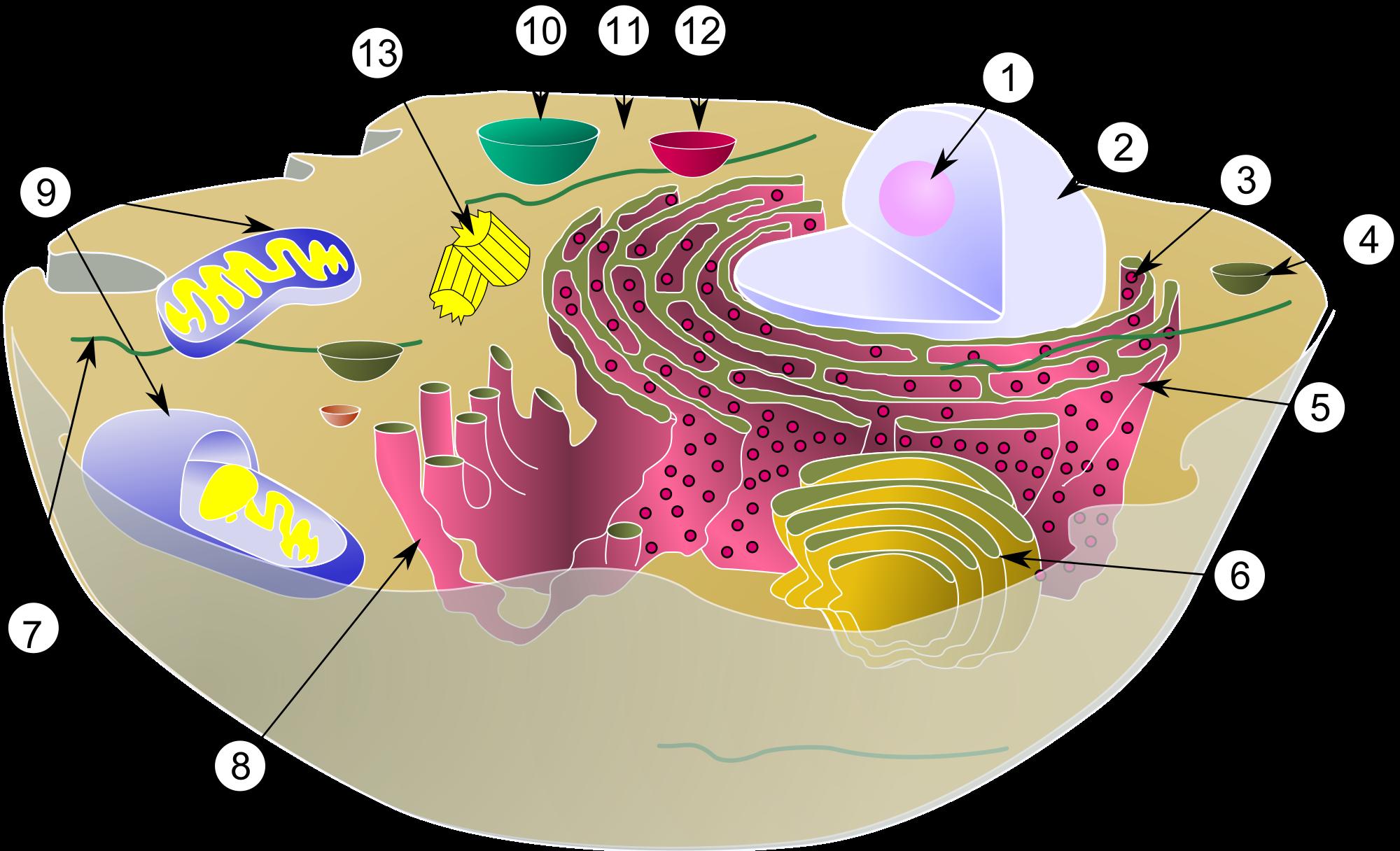 Biology wikipedia color diagram. Idea clipart research paper