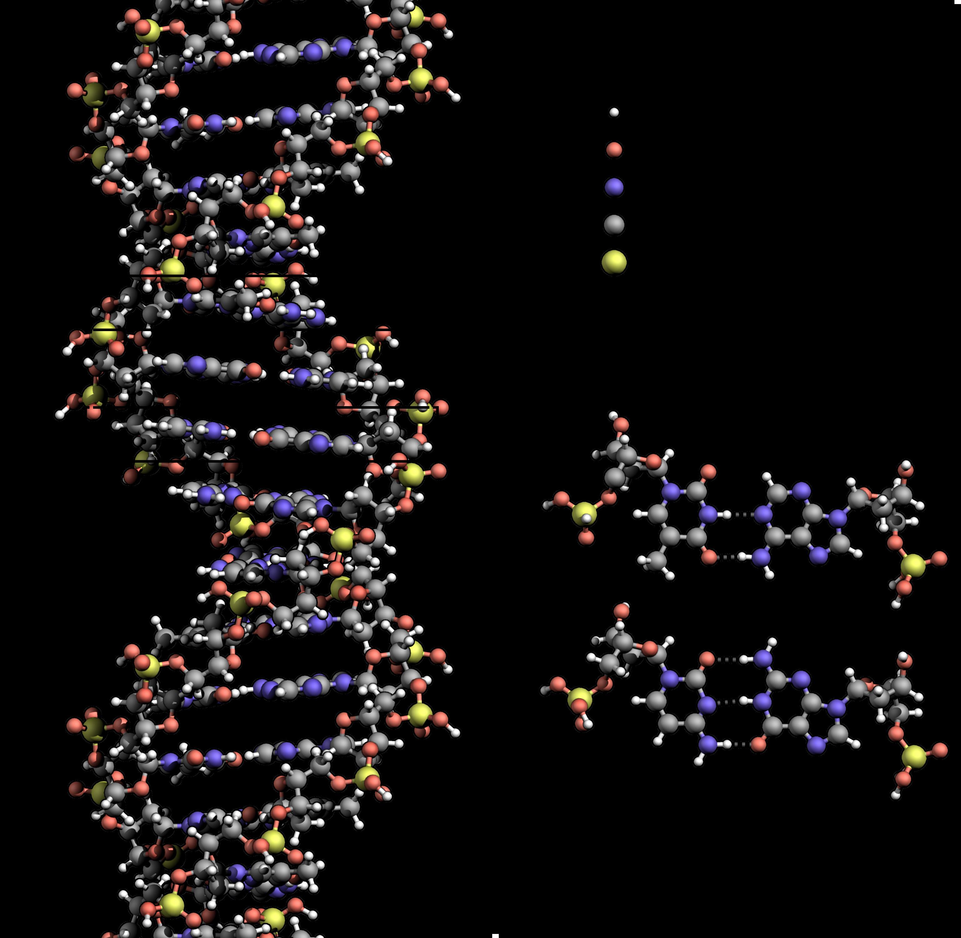 Wikipedia. Dna clipart genotype