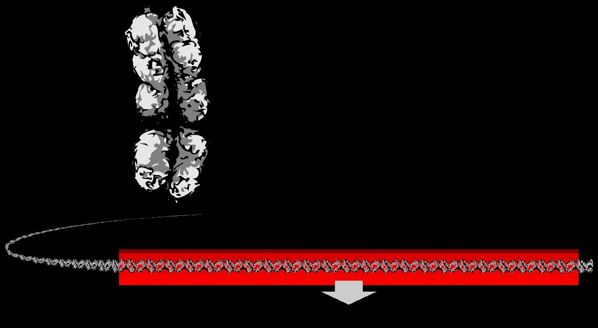 Dna clipart genotype. Gene wikipedia