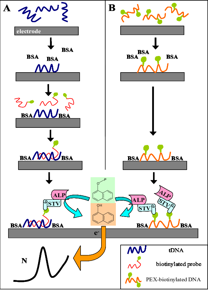 Scheme of the electrochemical. Dna clipart genotype