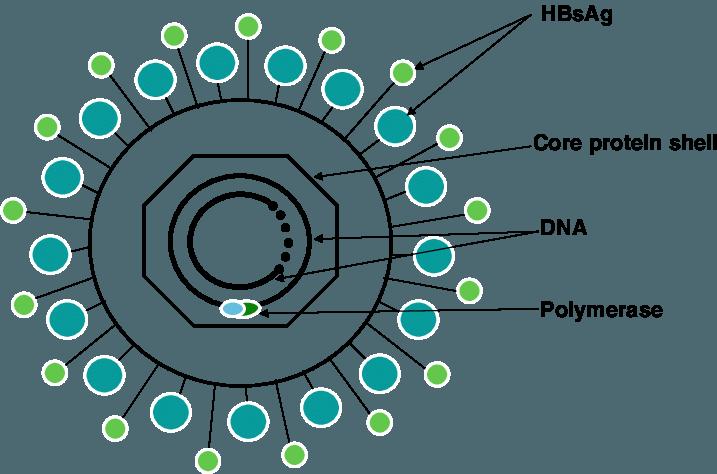 Dna clipart genotype. Diagrammatic representation of hepatitis