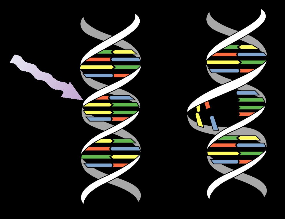 Dna clipart svg. File uv mutation wikimedia