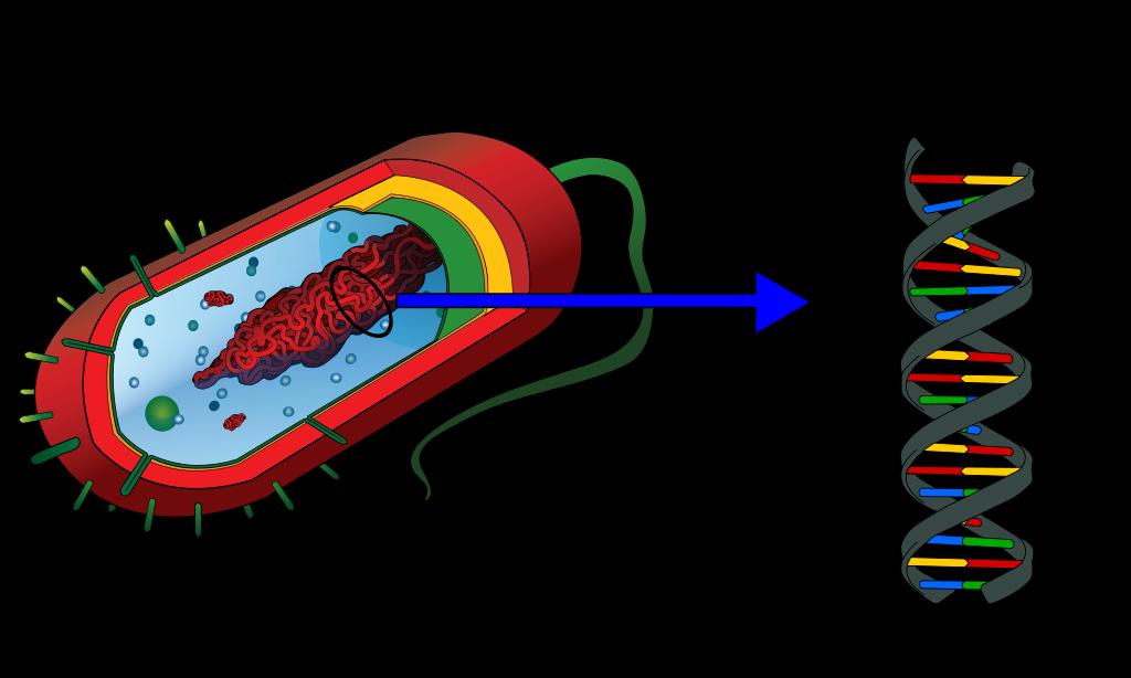 File prokaryote en wikimedia. Dna clipart svg