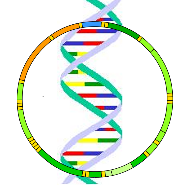 Dna clipart wikipedia. File mitochondrial png wikimedia