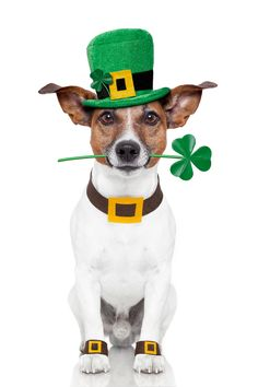 best s animals. Dog clipart st patrick day