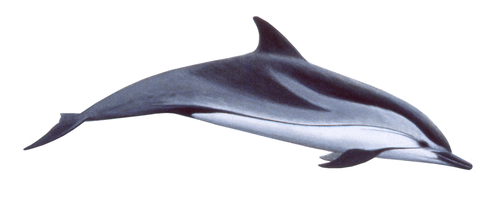 Dolphin clipart two. Cute swimming png free