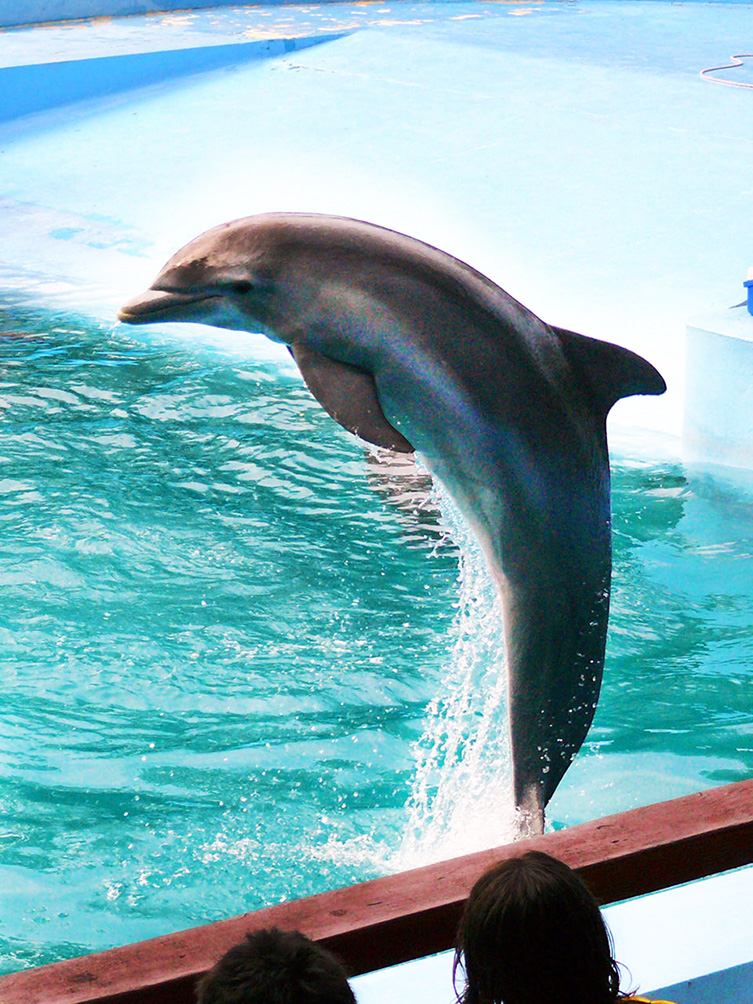 Pictures of clip art. Dolphins clipart dolphin face