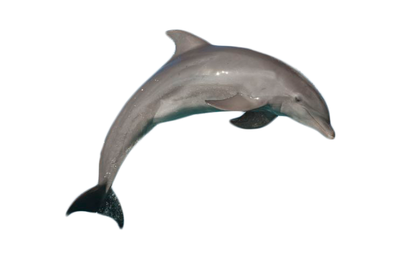Bottlenose dolphin gray free. Dolphins clipart sunset