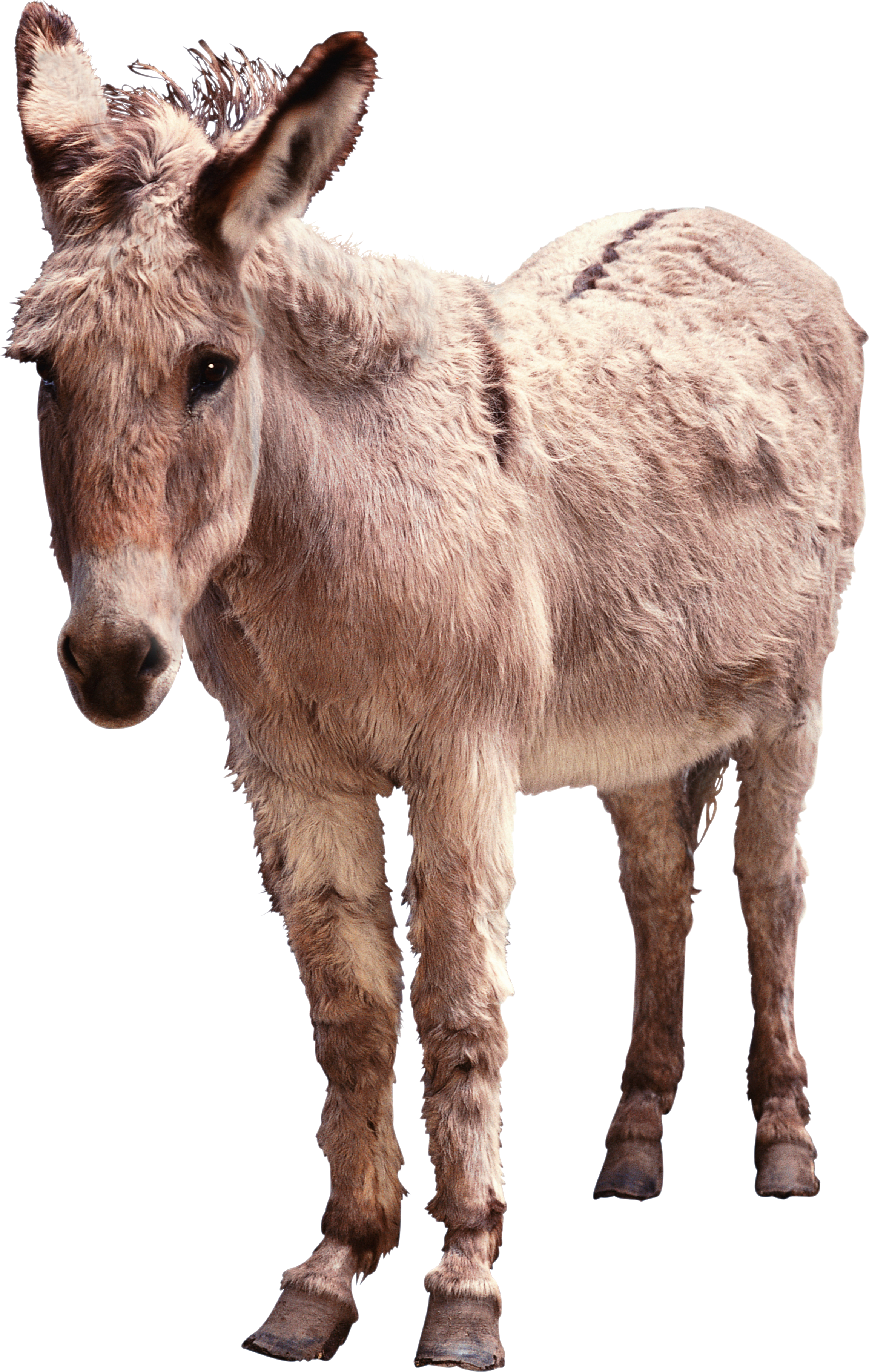 Mule clipart domesticated. Donkey png