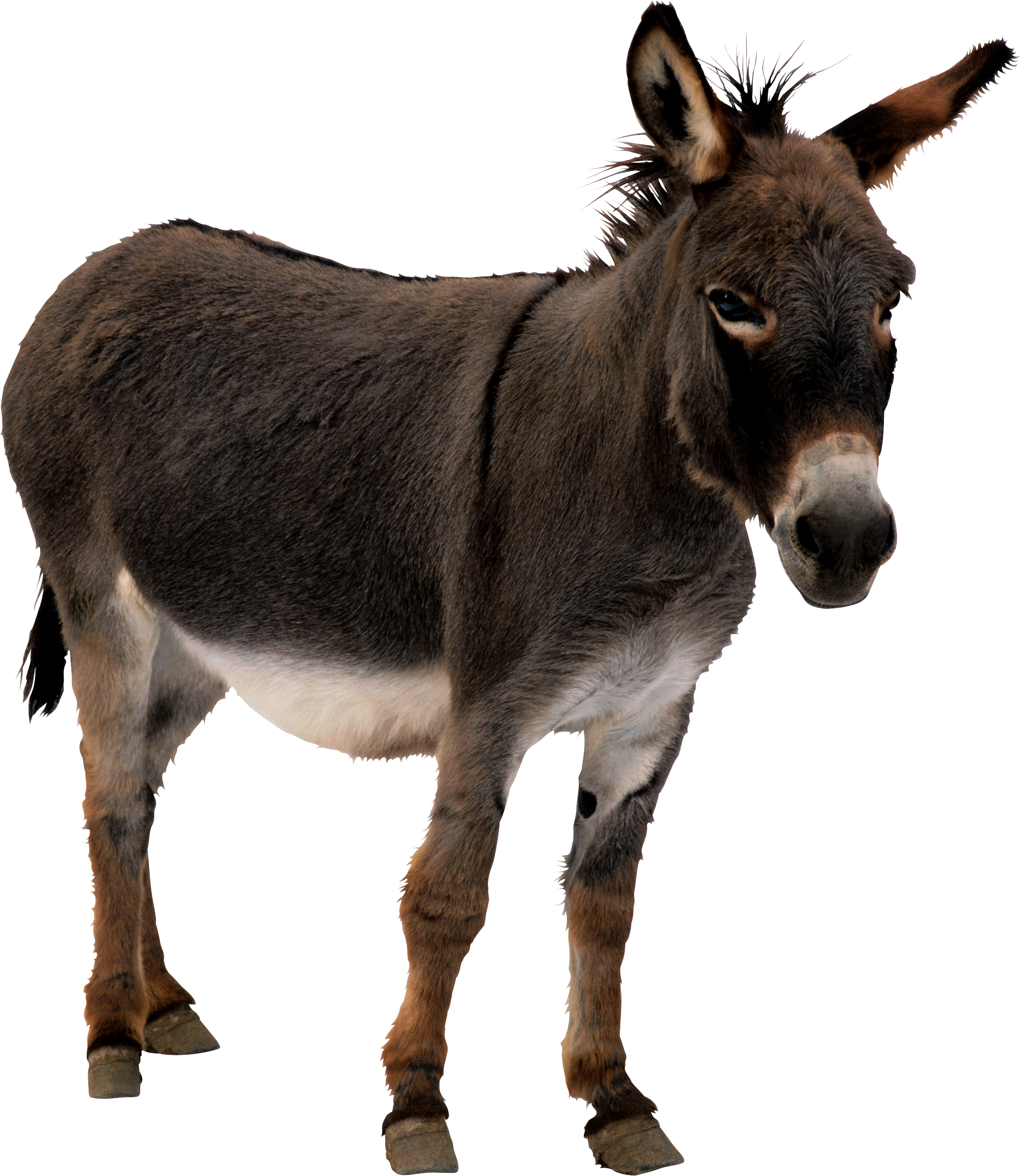 Donkey png images free. Mule clipart domesticated