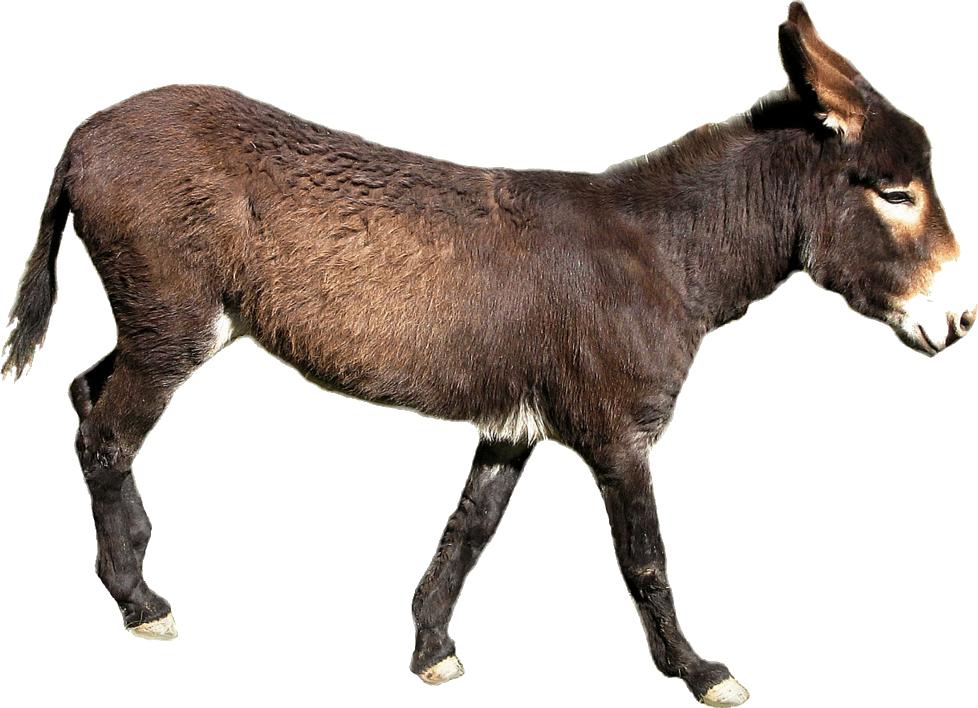 Mule clipart transparent, Mule transparent Transparent FREE for ...