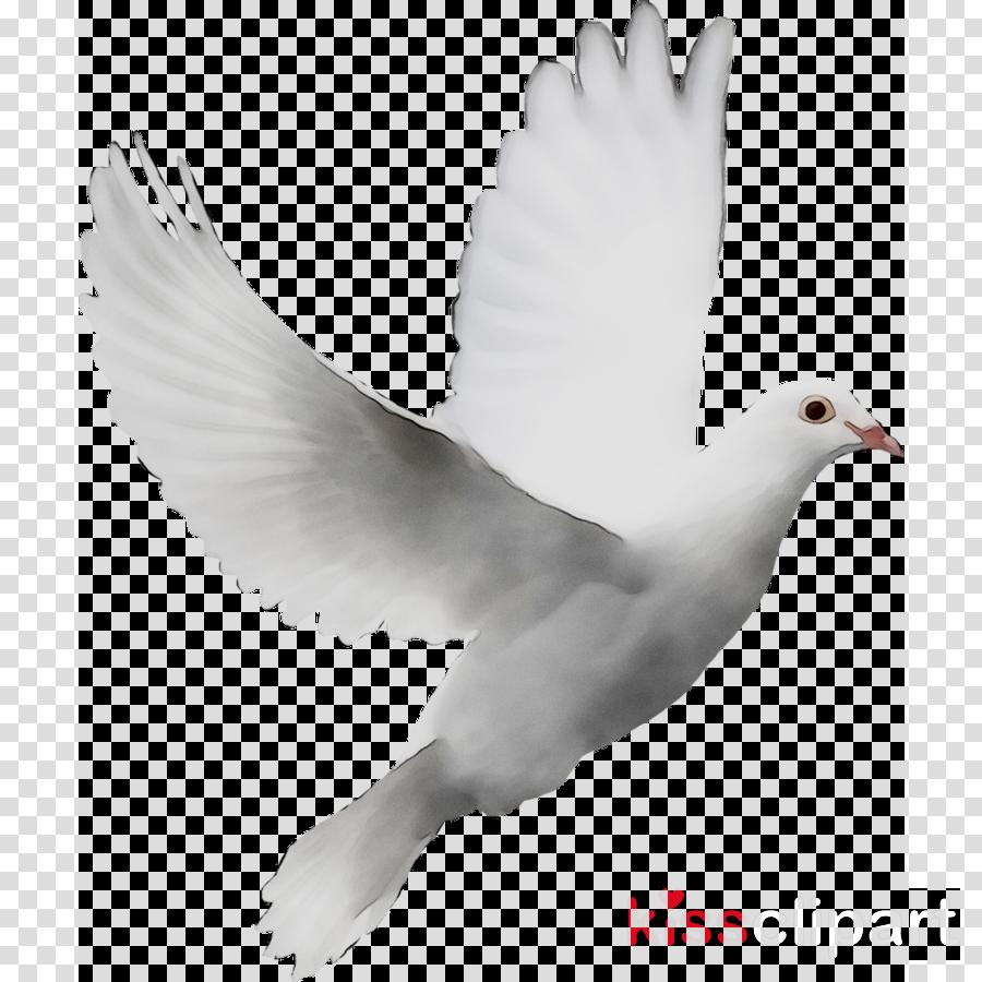 Dove bird white transparent. Doves clipart feather