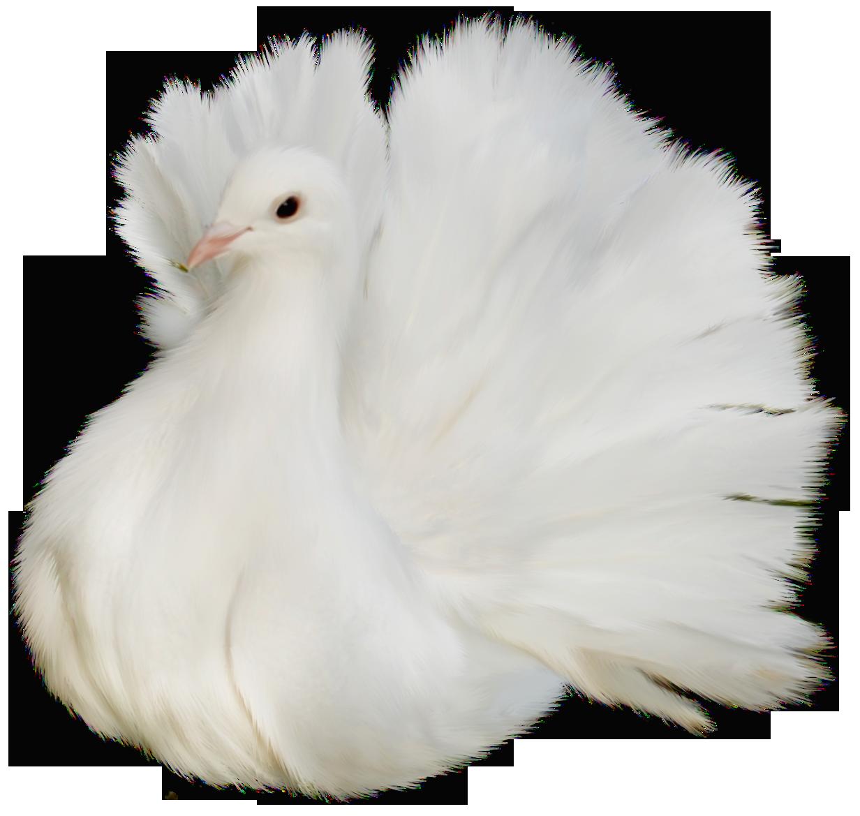 Doves clipart feather. White beautiful delicate dove