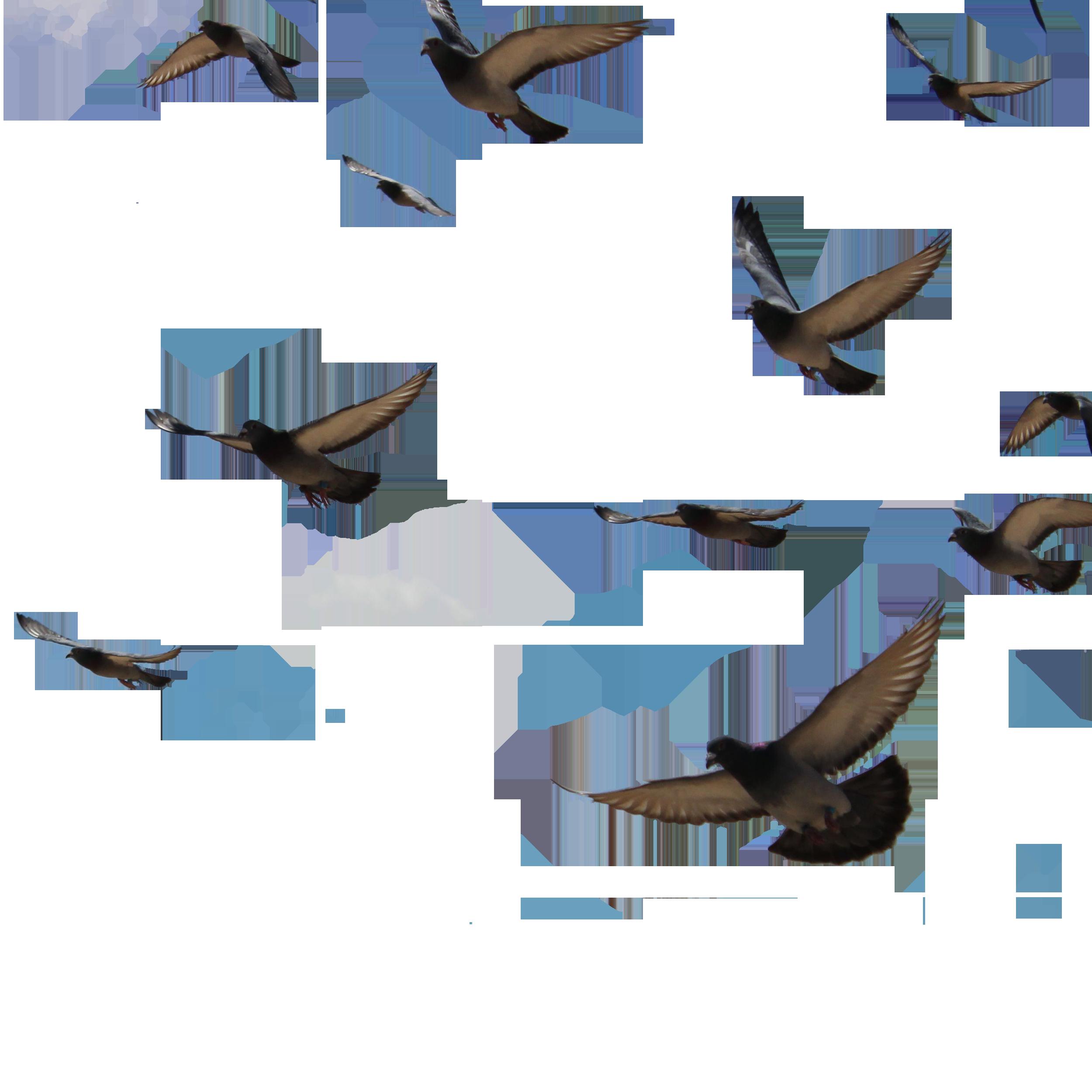 Bird columbidae columba clip. Wing clipart pigeon wing