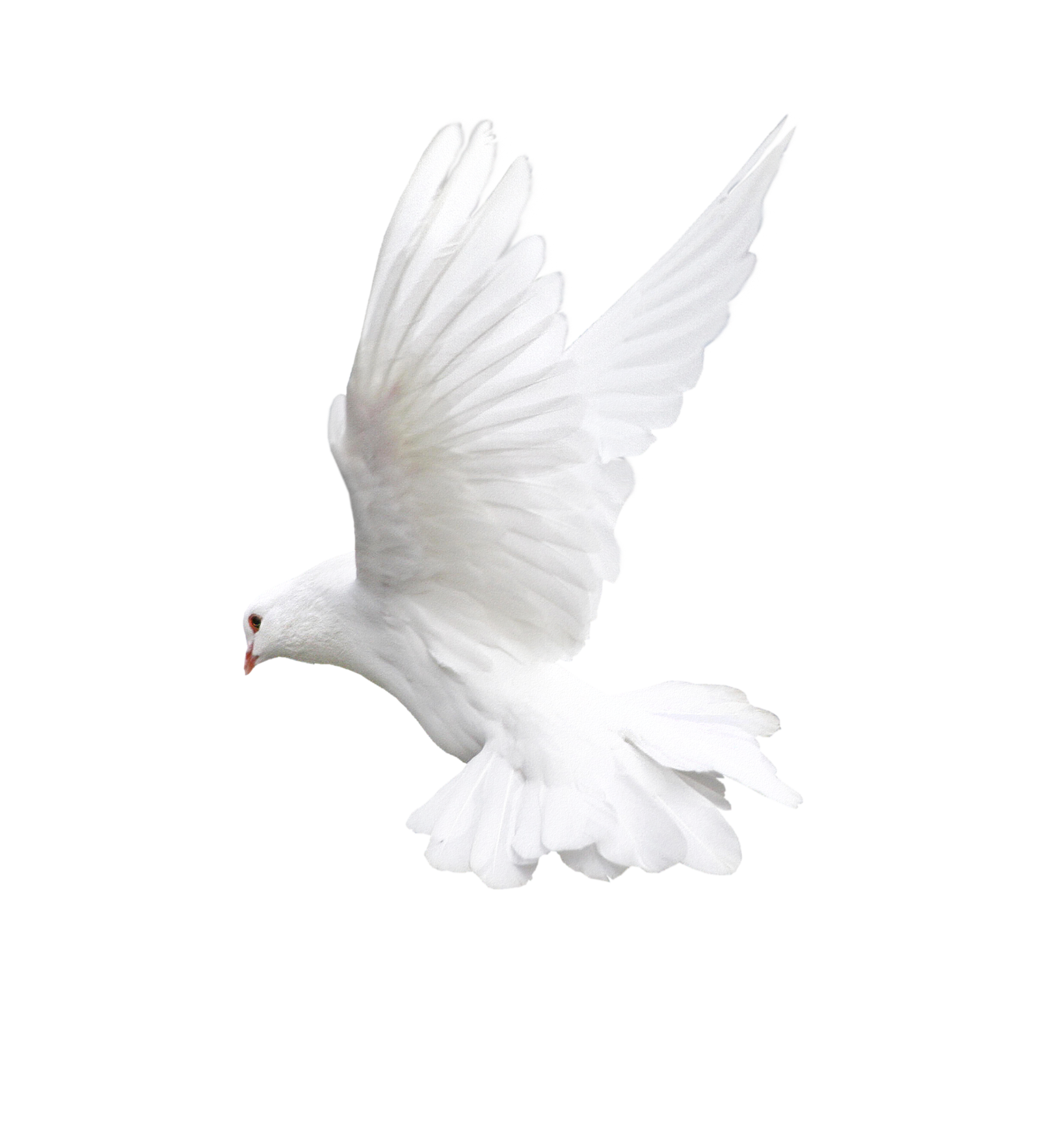 White dove one isolated. Doves clipart freedom