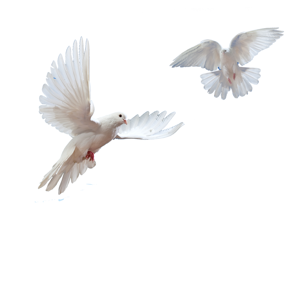 Doves clipart in flight. Dove transparent png pictures