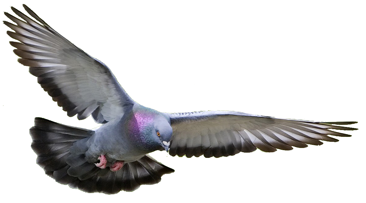 Dove transparent png pictures. Doves clipart feather
