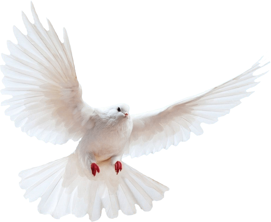 Doves clipart feather. White dove transparent background