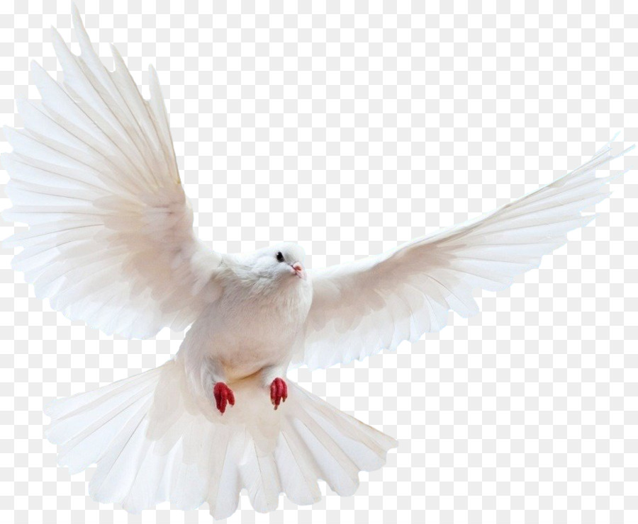Dove bird transparent clip. Doves clipart feather