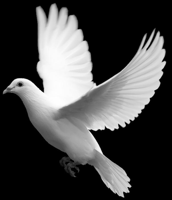 Doves clipart kid. White dove free on