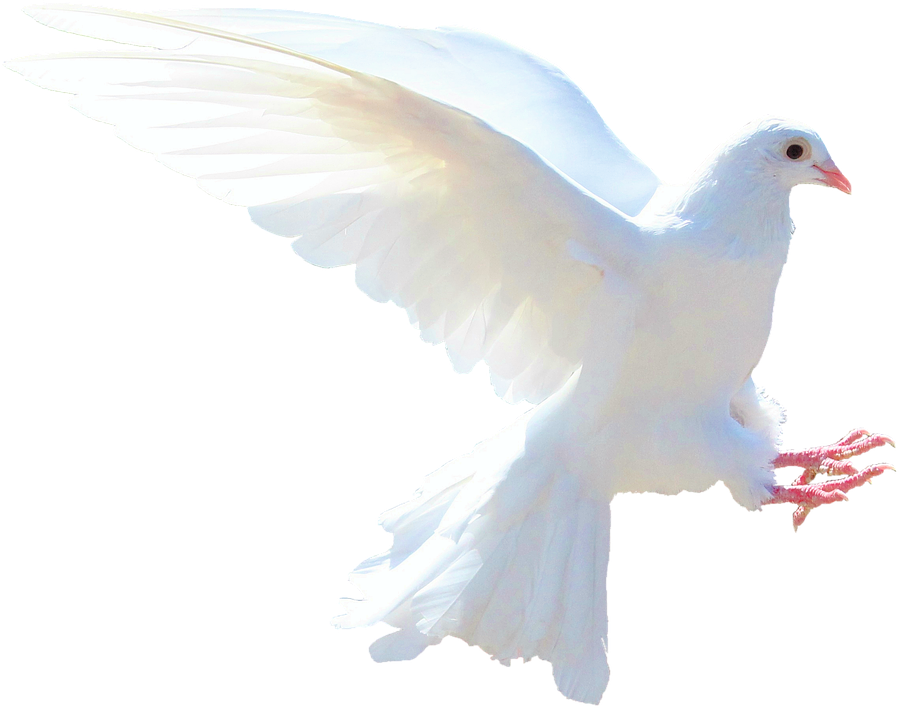 Doves Clipart Merpati Doves Merpati Transparent Free For Download